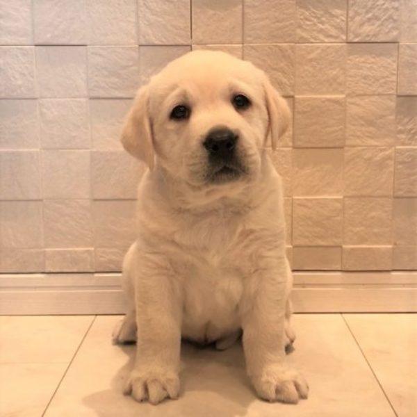 白くて ふわふわ  ラブラドール  子犬♪